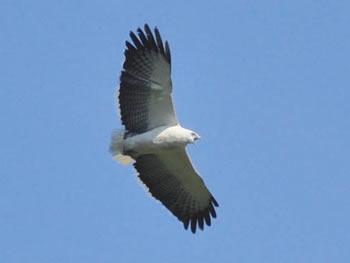 Gavião-pombo-grande - Pseudastur polionotus