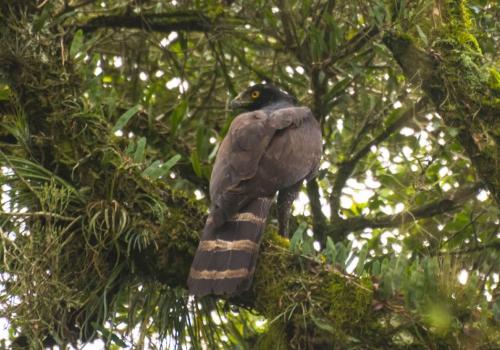 Gavião-pega-macaco - Spizaetus tyrannus