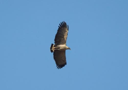 Águia-cinzenta - Urubitinga coronata