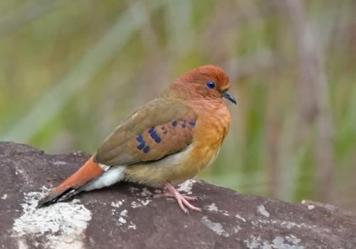 Boa notícia, redescobrimento de aves supostamente…