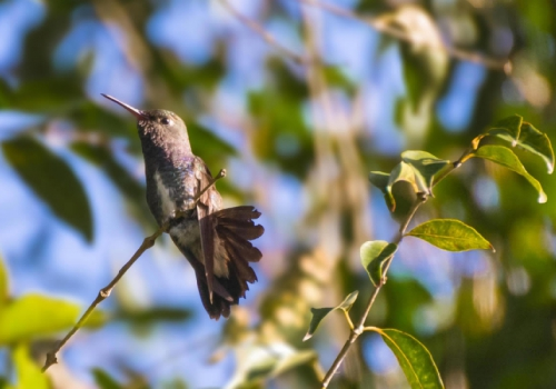 Beija-flor-de-peito-azul - Amazilia lactea